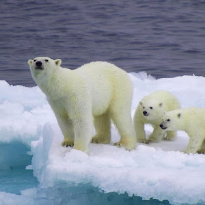 Polar-bears-are-usually-found-in-northern-sea-areas-of-Alaska-the-Community-1680x1050.jpg