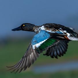 Colorful flight by Soumen Roy Chowdhury - Animals Birds ( flight, nature, bird photography, birds, wildlife )