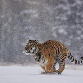 Sharp runner by Jiri Cetkovsky - Animals Lions, Tigers & Big Cats ( winter, tiger ussurian, snow, run )