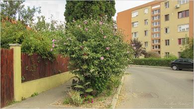 Photo: Hibiscus, Zămoșiță de Siria (Hibiscus syriacus) - din Turda, Str. Trandafirilor - 2019.09.04