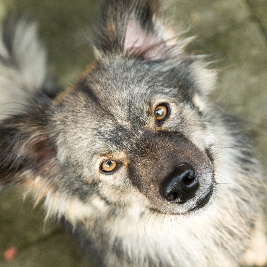 Look by Peter Grutter - Animals - Dogs Portraits ( dogs, nordic dog, ears, portrait, eyes )