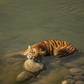 Tiger cub in Ramganga River, Corbett by Ketan Vikamsey - Animals Lions, Tigers & Big Cats ( rest in peace, natgeohd, dhikala, fotorbit, great nature, natgeo, uttarakhand tourism, rip, bbctravels, ketan vikamsey, jim corbett national park, tiger cub, discover, canonusa, wonderful places, lonelyplanet, lonelyplanetmagazineindia, worldphotographicforum, tiger, 365pix, kv kliks, natgeotravel, wilderness, travel the world pix, india tourism, incredible india )
