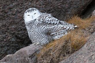 Photo: Snowy Owl, Cape Spear, NL