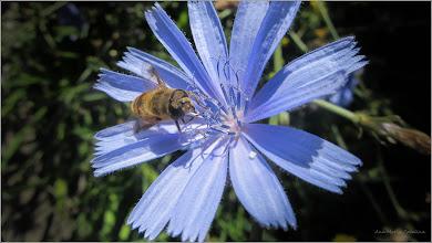 """Photo: Natura vie - De pe net: """"Albinele culegatoare atunci cand gasesc o noua sursa de cules, intorcandu-se in stup fac miscari asemanatoare unui dans, felul acestuia variind in functie de distanta pana la sursa de cules (dans circular, sub forma de secera sau imitand cifra 8). Noua sursa este stabilita in raport cu pozitia soarelui in momentul efectuarii dansului cat si de unghiul miscarilor facute de albine fata de aceasta pozitie, albinele cercetase transmitand concomitent mirosul nectarului si calitatea lul""""  - cicoarea ofera ce albinuta cauta - imag. de pe Calea Victoriei - 2017.07.27  info: https://www.scribd.com/document/221718076/Dansul-albinelor"""
