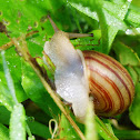 Striped Whitelip Snail