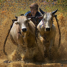 The Spirit Atmosphere by Achmad Tibyani - Sports & Fitness Other Sports ( bull race, tanah datar, indonesia, pacu jawi, west sumatera )