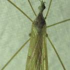 Limoniid Crane Fly