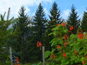 Photo: Die Stangen- (Feuer-) bohnen blühen gerade zur rechten Zeit.