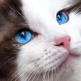 Those Eyes! by Irene Orloff - Animals - Cats Portraits ( kitten, cat, blue eyes )