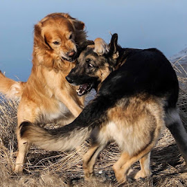 How They Play  by Patricia Phillips - Animals - Dogs Playing ( dogs playing german shepherd golden retriever )