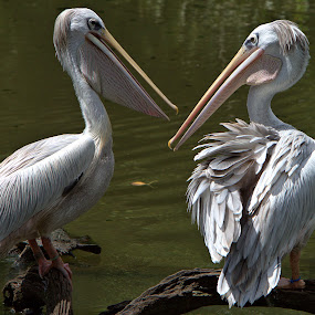Playful Pelican Pair by Cal Brown - Animals Birds ( new orleans, animals, playful, zoo, travel location, pair, louisiana, audubon, pelicans, birds, travel photography,  )