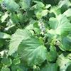 Beefsteak Plant, Beefsteak Mint, Perilla Mint