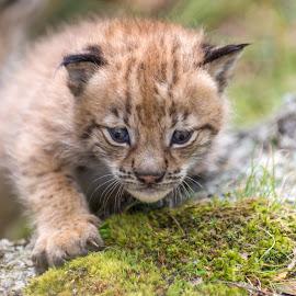 Lynx  by Anngunn Dårflot - Animals Other Mammals
