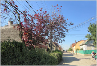 Photo: Corcoduş ornamental roşu (Prunus cerasifera Nigra) - de pe Str. Panait Cerna - 2017.07.18