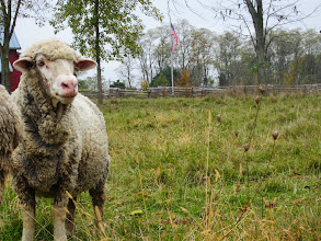 Photo: Woolly sheep in a field at Carriage Hill Metropark in Dayton, Ohio.