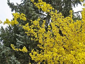Photo: Le jaune acide du forsythia qui brille en une journée couverte