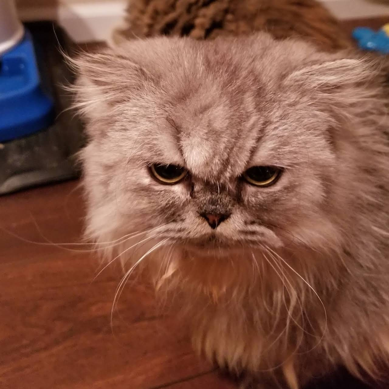 PERSIAN KITTENS - Persian Cat Cattery Nationwide in the USA