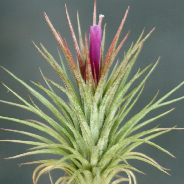 Hybrid tillandsia paul by aquaticsforevers enterprise Tillandsia hybrids