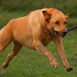 On the run by Wilson Beckett - Animals - Dogs Running (  )