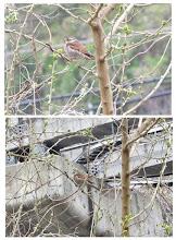 Photo: 撮影者:佐藤サヨ子 ツグミ タイトル: 観察年月日:2015年4月10日 羽数:1羽 場所:程久保川河畔 区分:行動 メッシュ:武蔵府中2J コメント:最近は天候が不順なので鳥も姿を見ることが難しくなっていますが、程久保川にカワセミを見に行きましたら電線にカワラヒワが2羽いたのでカメラを向けると飛んでしまったので反対側を見ると鶫がいたので見ていると次第にモノレールの方に近づいてゆきました。