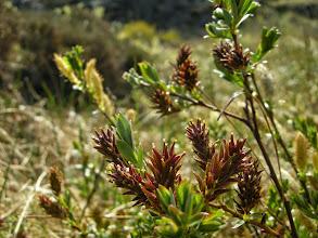 Photo: Krypvier i blomst - hannblomst