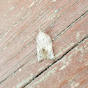 Omnivorous platynota moth