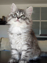 Photo: Quimey (2 meses) blue silver tabby