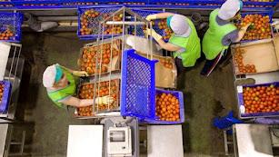 Trabajadores manipulan tomates del campo almeriense.
