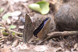 Photo: Blue spotted emperor (Charaxes cithaeron) - on Lion dung!
