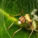 Asian Weaver Ant