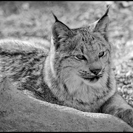 Lynx by Dave Lipchen - Black & White Animals ( lynx )