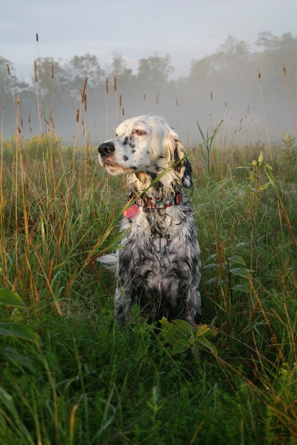 Morning Light by Danica Barreau - Animals - Dogs Portraits ( carter, deaf dog, english setter, dog )