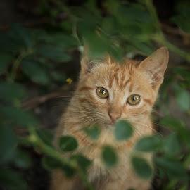 When you do a creative portrait of your cat by Bistra Stoimenova - Animals - Cats Portraits ( rose, cat, yard, green, summer, rose garden, portrait, creative portrait, domestic cat, animal )