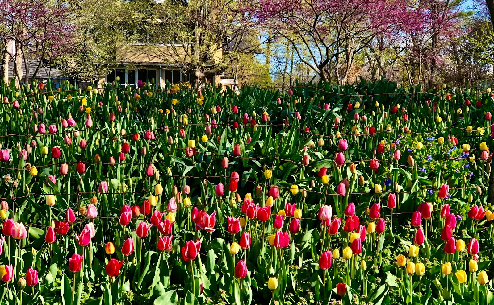 Tulip Garden with trees in bloom and home in the background