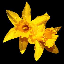 Jonquilles by Gérard CHATENET - Flowers Flower Arangements