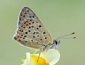 Photo: Lycaena tityrus, Cuivré fuligineux, Sooty Coppe  http://lepidoptera-butterflies.blogspot.com/