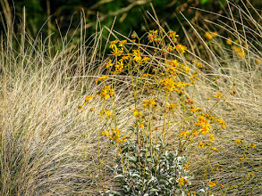 Photo: Between and Among - Yellow wildflower patch between the grass rushes, Rio Salado Habitat Preserve in central Phoenix, Arizona.