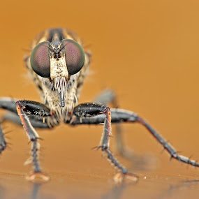 Robber Fly by Reeve Lim - Animals Insects & Spiders