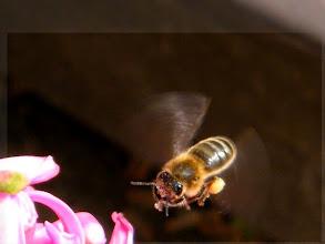 Photo: Une de mes abeilles en vol devant une jacinthe avec sa provision aux pattes.