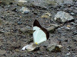 Photo: LEUCADIA WHITE--melete leucadia latilimbata--RIO CHIGUAZA--id by Keith Willmott