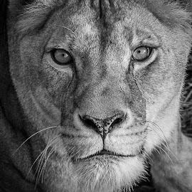 I only have eyes for you by Garry Chisholm - Black & White Animals ( garry chisholm, carnivore, nature, black and white, wildlife, dator, eyes )