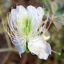 Caper bush