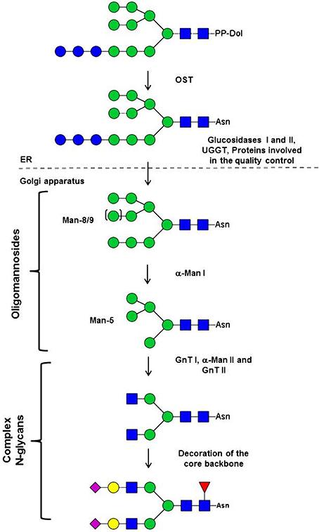 Transporte de proteínas, Glicosilación