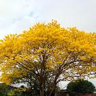 Roble Amarillo o Guayacán