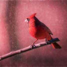 Cardinal by Robert Mullen - Digital Art Animals ( bird, songbird, birds, garden bird, yardbird,  )