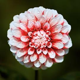 Dahlia 8496~ 1 by Raphael RaCcoon - Flowers Single Flower