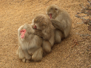 Photo: These Japanese macaques and other monkeys and apes groom each other by eating lice of each other. This creates the foundation for reciprocal altruism. One grooms to show that you care about another primate, thereby creating a collaboration.  Interspecies grooming is also seen in nature. Where monkeys groom other animals.  A troop of wild macaques which regularly interact with humans have learnt to remove hairs from the human's heads, and use the hair to floss their teeth.  People: humans groom in tribes as seen in the Hadza tribe. The function is the same, to remove lice and be social. But men typically do not groom each other. Another fun fact about the Hadza is that they speak a click language that probably is very similar to a language we all spoke thousands of years ago.  Informative book about the Hadza people: The Hadza: Hunter-Gatherers of Tanzania