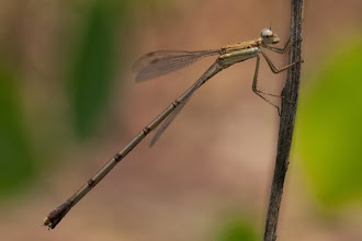 Photo: Damselfy (Zygoptera) Libélula (Zygoptera)