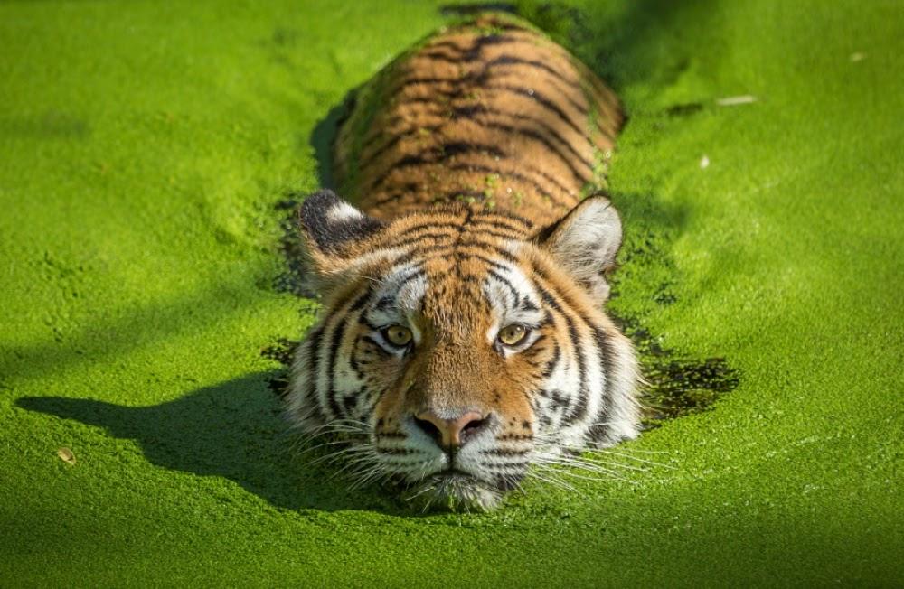 ijND0i1cGjW5ZXGHWx6hsXl0ci3rgN8wAkbIFjvoVr8=w1000 h652 no - Один день в тигровой майке