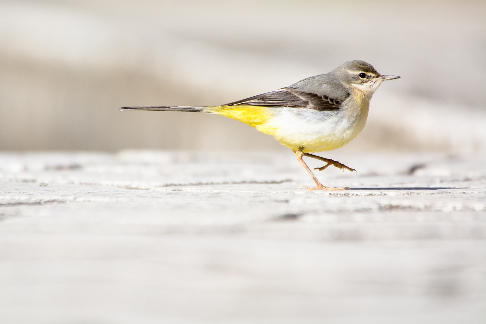Photo: せかせか Walk in a hurry.  せかせか せかせか 急ぎ足 腹ごしらえに大忙し あっちへ行ったり こっちへ行ったり  Grey Wagtail. (キセキレイ)  #cooljapan #365cooljapanmay  #birdphotography #birds  #kawaii  Nikon D7100 SIGMA APO 50-500mm F5-6.3 DG OS HSM [ Day319, March 27th ]  小鳥の詩朗読 https://youtu.be/NSF8Jg4TAC0?list=PL2YtHGm0-R3qVsaqvQe9OYdJFCkI98wzF